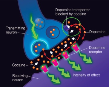 Neurotransmitters like dopamine have a complex relationship with behavior, such as addiction.
