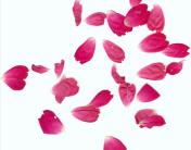 Rose_Petals_by_Halo_Junky